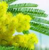 La mia mimosa per il tuo parto sicuro